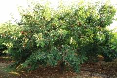 """Albero di ciliegia """"Ferrovia"""" (azienda agricola De Carolis) - Turi"""