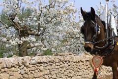 La mula tra i muretti a secco e i ciliegi in fiore - Turi