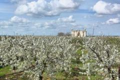 """Masseria fortificata """"Caracciolo"""" sec. XVII con i ciliegi in fiore - Turi"""