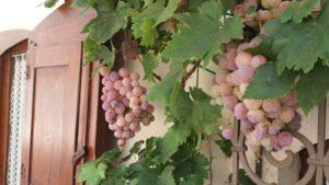 L'uva coltivata in vaso nella nostra dimora